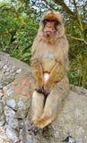 Gibraltar-Affen Lizenzfreies Stockbild