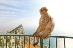 Gibraltar apa som poserar på staket royaltyfria foton