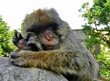 Gibraltar ape Royalty Free Stock Photos