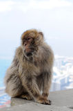 Gibraltar ape Stock Photography