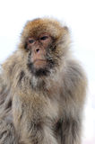 Gibraltar ape Royalty Free Stock Images