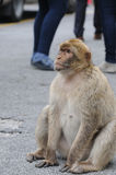 Gibraltar ape Stock Photo