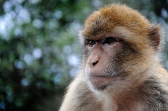 Gibraltar ape. Wild living ape . The barbary macaques are a famous attractions in Gibraltar stock images