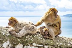 Gibraltar Apes. Barbary Macaque family in Gibraltar Nature Reserve royalty free stock photo