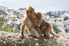 Gibraltar Apes. Barbary Macaque family in Gibraltar Nature Reserve royalty free stock images