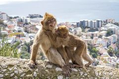 Gibraltar Apes. Barbary Macaque family in Gibraltar Nature Reserve royalty free stock photography