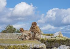 Gibraltar Apes. Barbary Macaque family in Gibraltar Nature Reserve stock photography