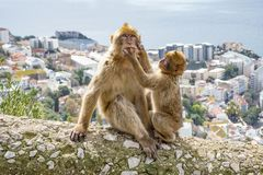 Gibraltar Apes. Barbary Macaque family in Gibraltar Nature Reserve stock photo