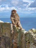 Gibraltar Apes. Barbary Macaque family in Gibraltar Nature Reserve royalty free stock image