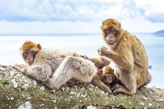 Gibraltar Apes. Barbary Macaque family in Gibraltar Nature Reserve royalty free stock photos