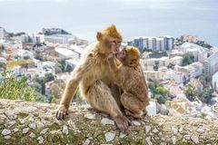 Gibraltar Apes. Barbary Macaque family in Gibraltar Nature Reserve stock image
