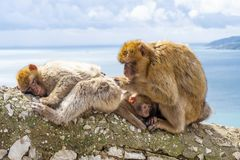 Gibraltar Apes. Barbary Macaque family in Gibraltar Nature Reserve stock photos