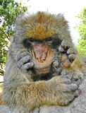 Gibraltar apes Royalty Free Stock Photography