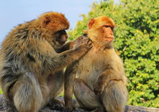 Gibraltar apes. The only wild living apes in Europe stock images