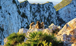 Gibraltar apes. The only wild living apes in Europe stock image