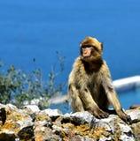 Gibraltar Barbarije macaque Royalty-vrije Stock Afbeeldingen