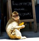 Gibraltar Barbarije macaque Stock Afbeeldingen