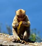 Gibraltar Barbarije macaque Royalty-vrije Stock Fotografie