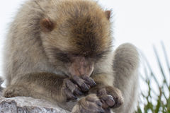 Gibraltar barbary ape monkey macaque. In spain europe Royalty Free Stock Photo