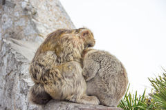 Gibraltar barbary ape monkey macaque Royalty Free Stock Images