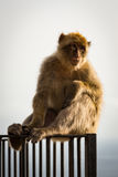 Gibraltar Barbary Ape. Barbary ape sat on fence at nature reserve based on Upper Rock at the Rock of Gibraltar Stock Photography