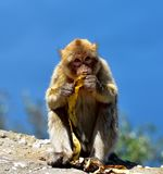 Gibraltar Barbary macaque arkivbilder