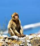 Gibraltar Barbary macaque Arkivfoto