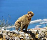 Gibraltar Barbary macaque Royaltyfri Bild
