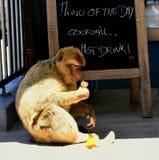 Gibraltar Barbary macaque Arkivbild
