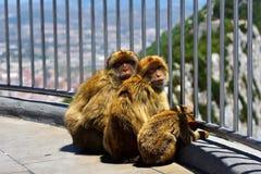 Gibraltar Barbary macaque Arkivfoton