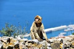 Gibraltar Barbary macaque Royaltyfria Foton