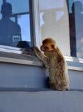 Gibraltar Barbary macaque Royaltyfri Fotografi