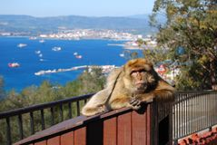 Gibraltar Barbary makaka małpa Zdjęcia Royalty Free