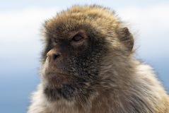 Gibraltar Barbery macaque Royaltyfria Bilder