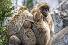 Gibraltar Barbery macaque Royaltyfri Foto