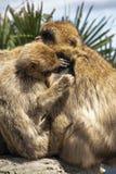 Gibraltar Barbery macaque Royaltyfri Fotografi