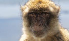 Gibraltar Barbery macaque Arkivbilder