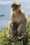 Gibraltar Barbery macaque på träd Royaltyfri Bild