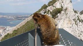Gibraltar berömda apor stock video