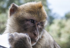 Gibraltar clever monkey. Gibraltar monkey portrait with sad look Stock Image