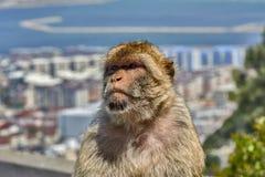 Gibraltar Małpuje lub Barbary makaki rozważają Obraz Royalty Free