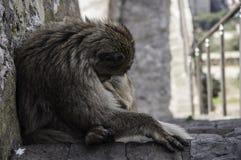 gibraltar małpa Obraz Royalty Free