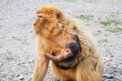 Gibraltar małpa z jego dzieckiem Fotografia Royalty Free