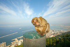 Gibraltar Monkey. S or Barbary Macaques are considered by many to be the top tourist attraction in Gibraltar. Female monkey sitting on the concrete pole that is Stock Photo