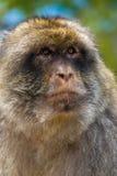 Gibraltar Monkey stock image