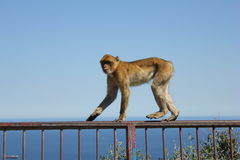 Gibraltar, monkey on the Rock. Monkeys on the Rock of Gibraltar Stock Photo