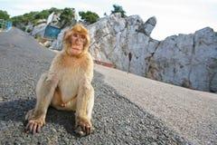 Gibraltar Monkey sitting on the road Stock Image