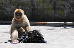 Gibraltar monkey steeling Royalty Free Stock Images