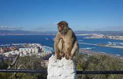 Gibraltar, points of interest in the British overseas area on the southern spit of the Iberian Peninsula,. Gibraltar, ape rock, a Berber monkey sitting morosely stock images