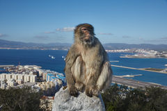 Gibraltar, points of interest in the British overseas area on the southern spit of the Iberian Peninsula,. Gibraltar, ape rock, a Berber monkey sitting morosely royalty free stock photos